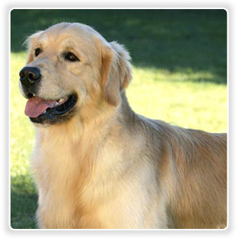 Eukanuba-Golden-retriever-breed